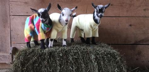 Please Enjoy This Video Of 10 Baby Goats In Pyjamas