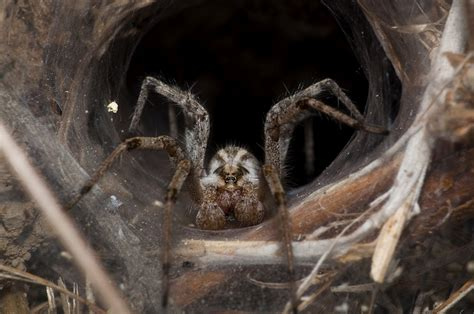 Australia: Giant funnel-web spider captured and handed to