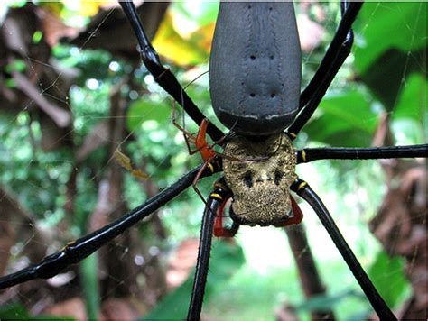 EPIC Creature of the Month!: Gold Silk Orb-Weaver Spider