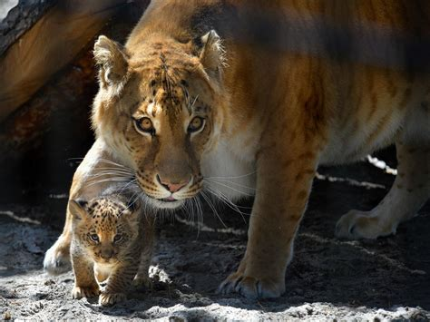 Cat Experts: Ligers and Other Designer Hybrids Pointless
