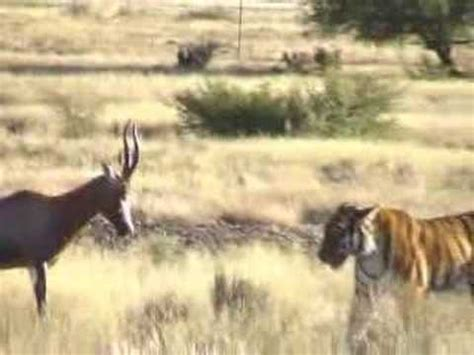 """Difficult Hunt: Tiger """"Hope"""" Conquer Antelope in South"""