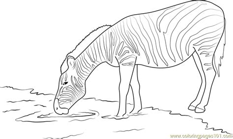 Zebra Drinking Water Coloring Page - Free Zebra Coloring