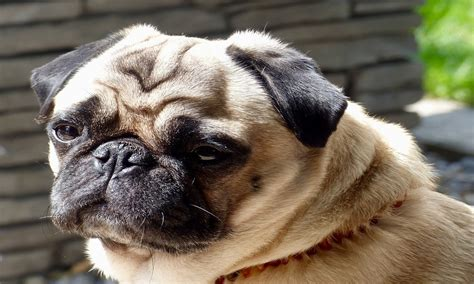1000+ Pug Names to Generate Best Ideas!
