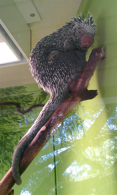 Prehensile-tailed porcupine - Wikiwand