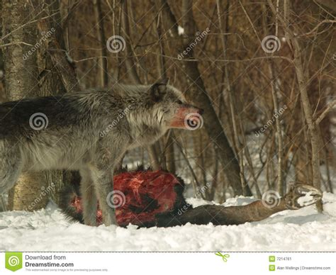Alpha Male Wolf Stock Image - Image: 7214761