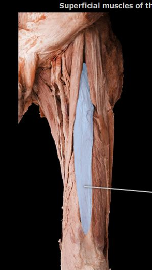 Femoral Muscle practical - Biology 121 with Garrett at