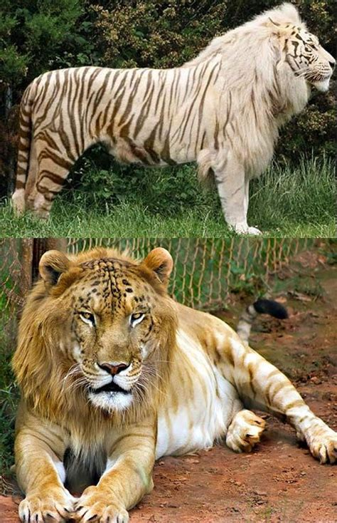 Top 10 (Plus) Hybrid Animals of the World | tigers