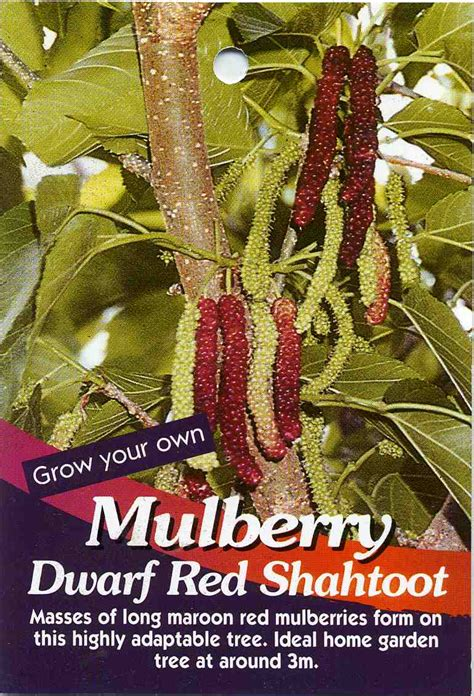 Mulberry Dwarf Red Shahtoot Morus Macroura Buy Mulberry